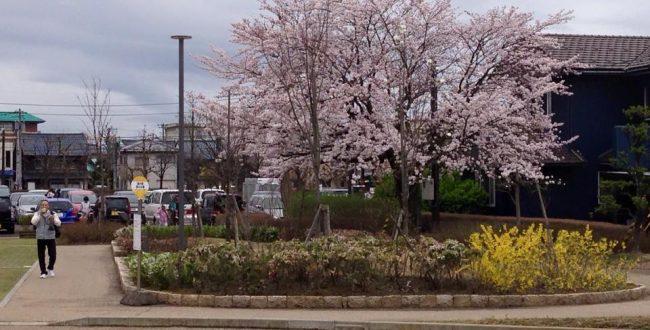 西山公園の桜